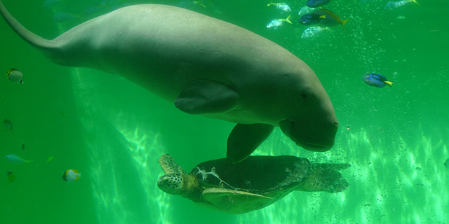 dugong.jpg (179.76 Kb)