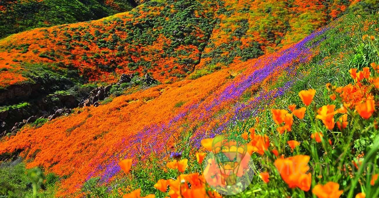 floweringpoppiesinwalkercanyon.jpg (250.03 Kb)