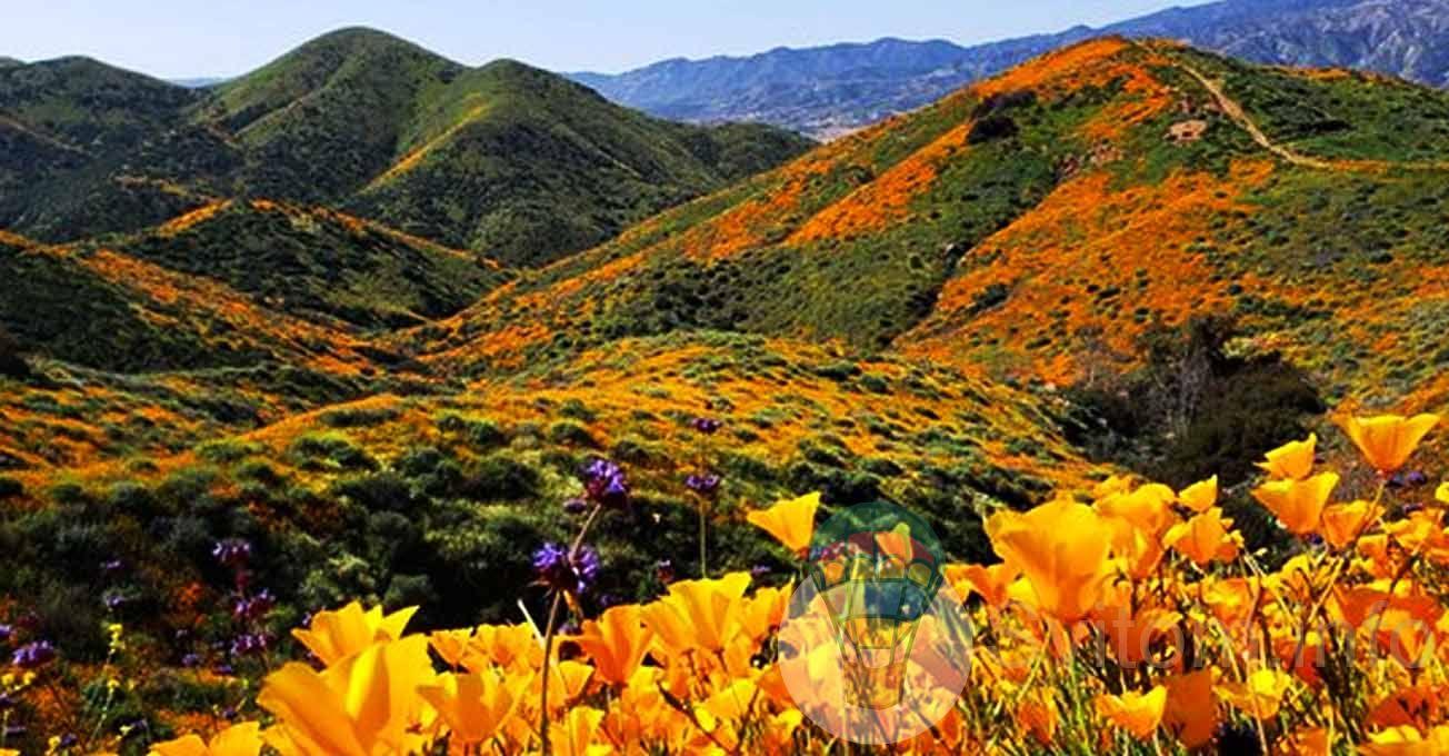 floweringpoppiesinwalkercanyon1.jpg (163.32 Kb)