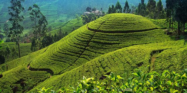 tea-plantation.jpeg (306.59 Kb)