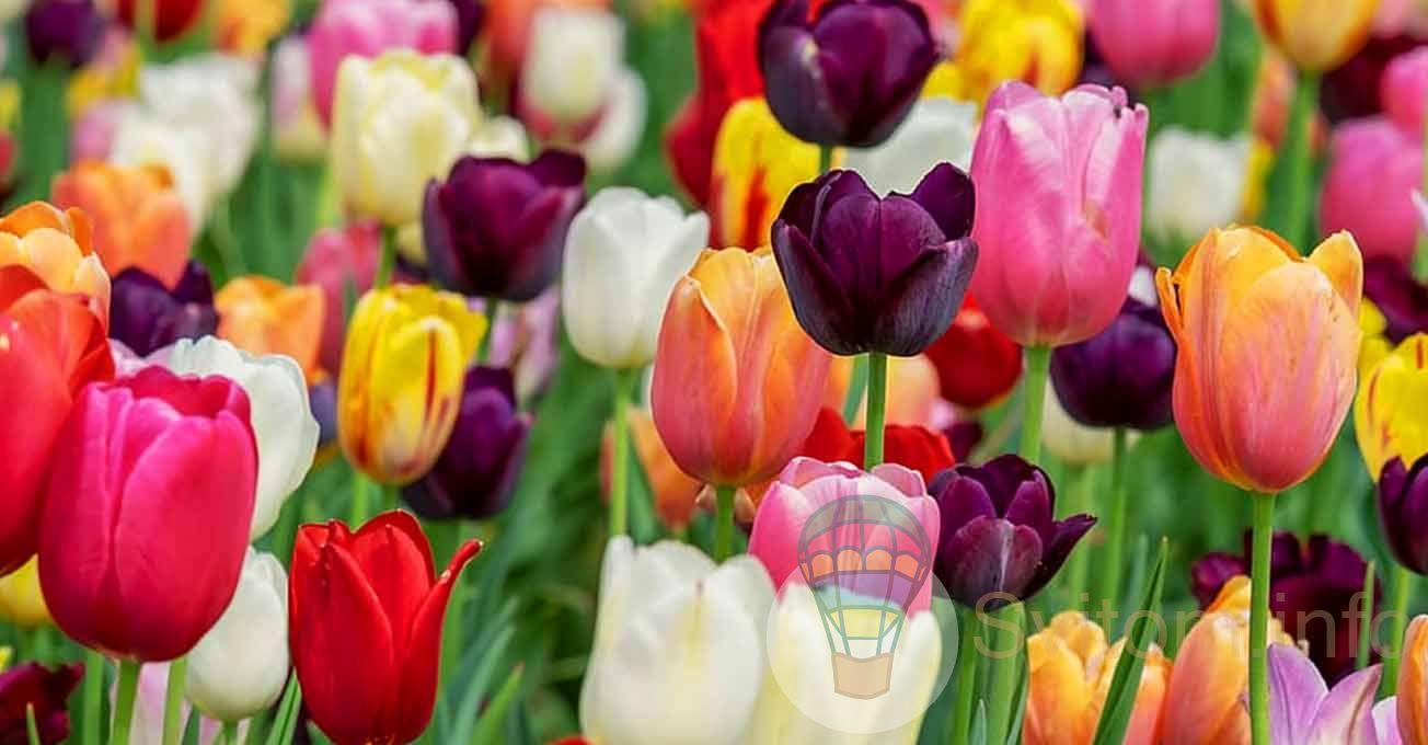 tulipmamaivtsi.jpg (86.71 Kb)